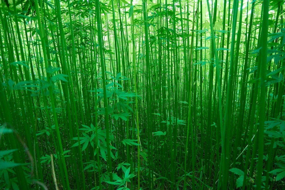 A dense field of green bamboo-like industrial hemp stalks grows tall in the summer sunshine. Industrial hemp can be harvested for thousands of uses including hemp fabric.