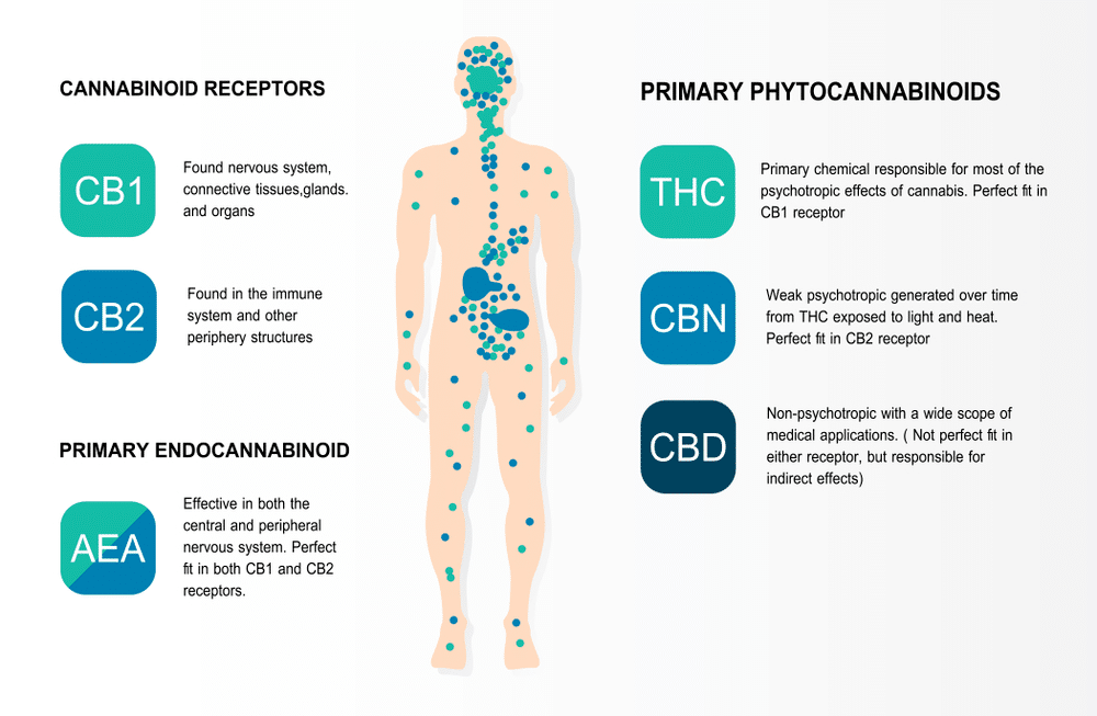 ECS Endocannabinoid system - WHAT IS CBD AND THE ENDOCANNABINOID SYSTEM?
